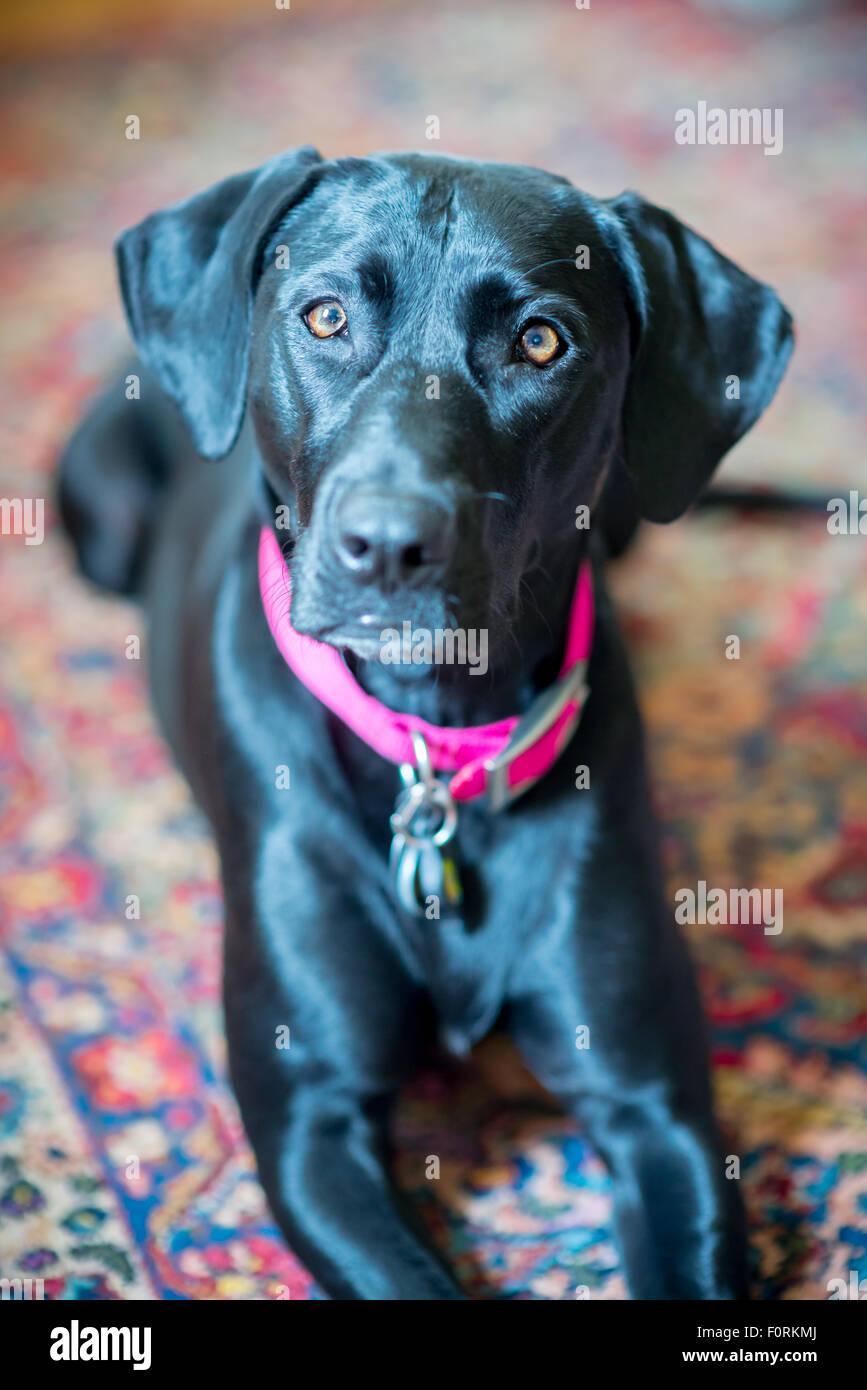 Black Lab Rescue Dog Stock Photos & Black Lab Rescue Dog