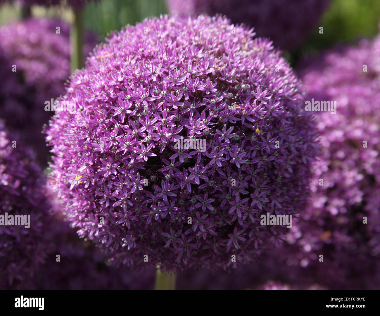 Allium 'Ambassador' close up of flower - Stock Image