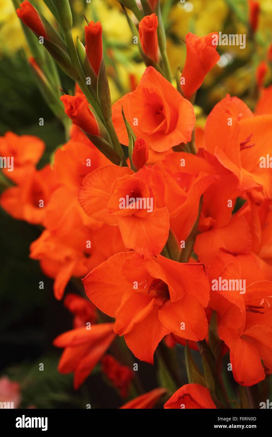 Gladiolus 'Mama Mia' close up of flowers - Stock Image