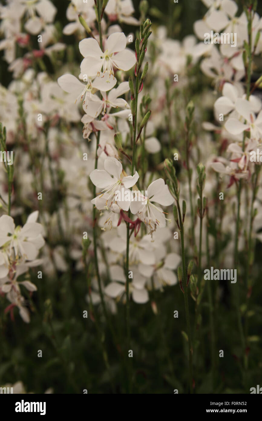 Gaura 'Geyser White' close up of flower - Stock Image