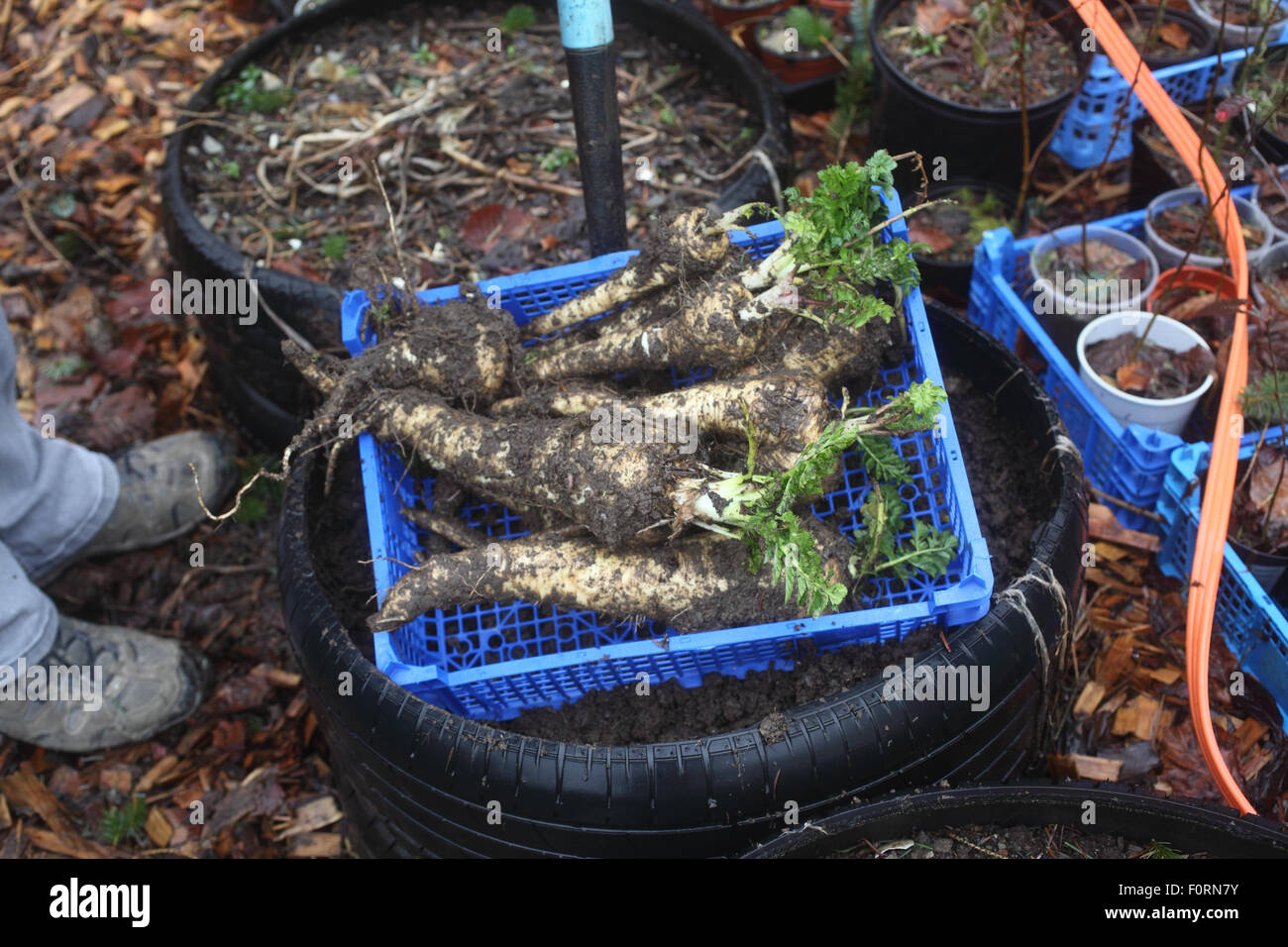 Parsnips dug from single tyre - Stock Image