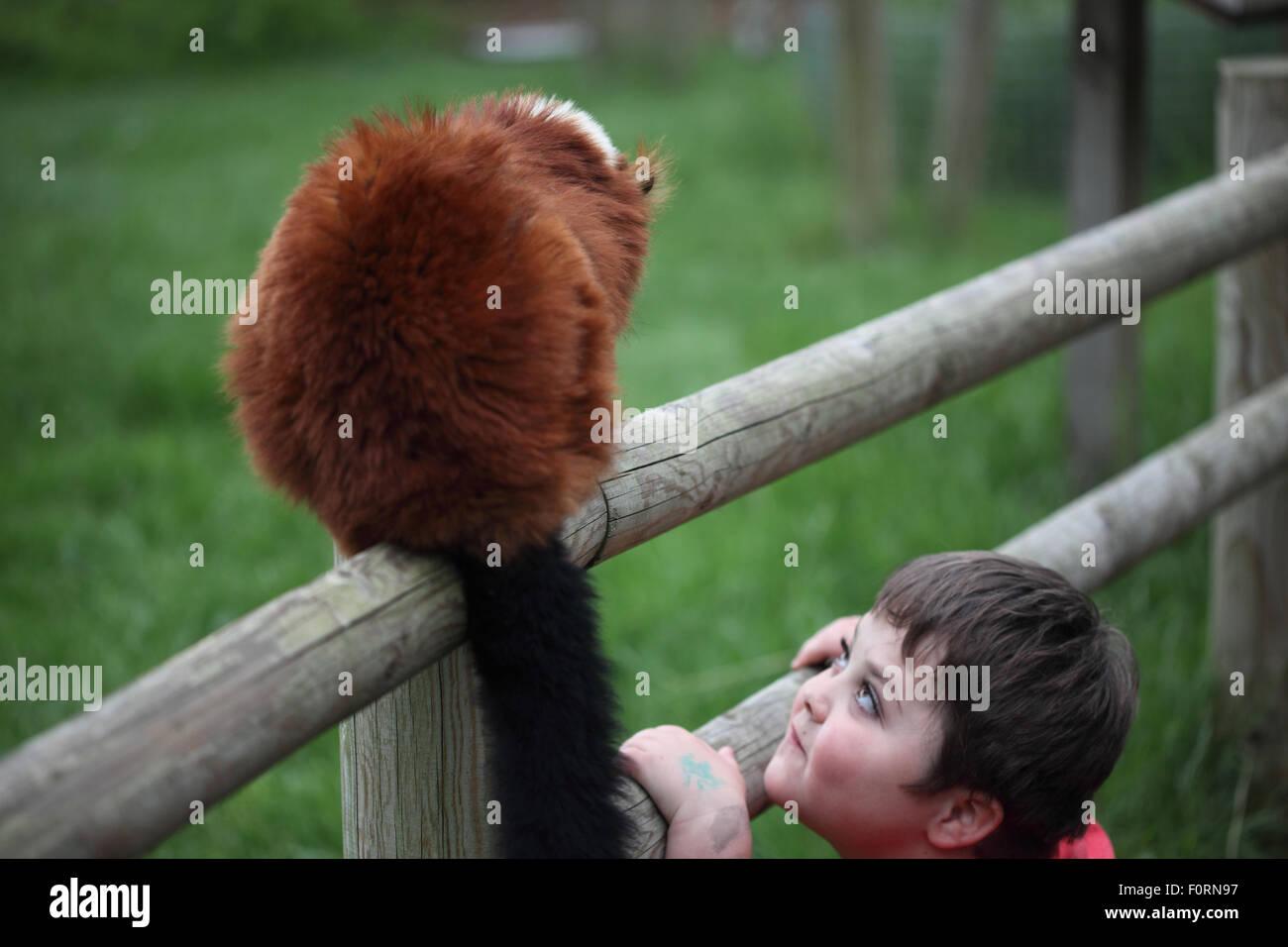 Small boy and Lemur at Banham Zoo - Stock Image