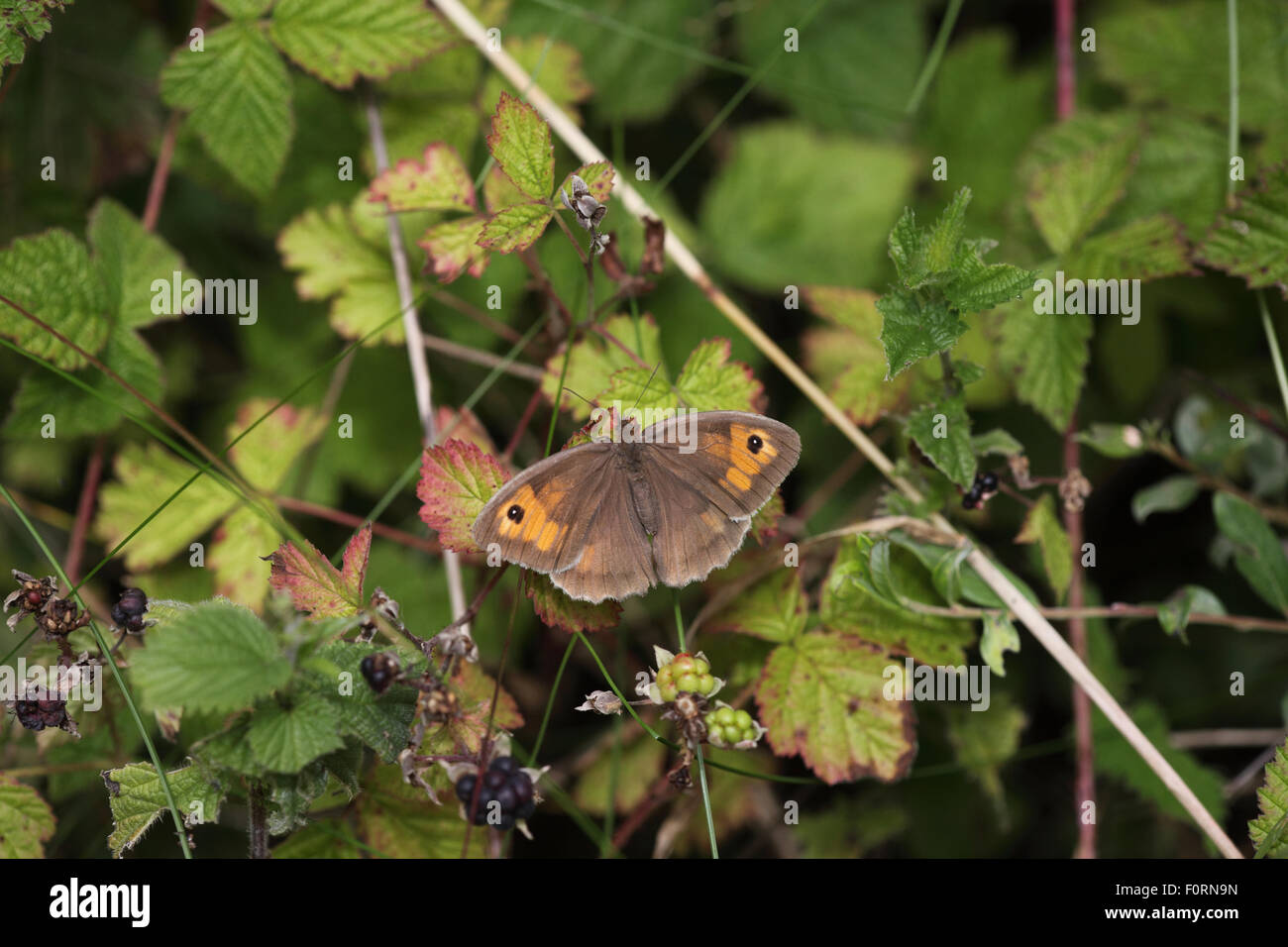 meadow brown maniola jurtina Female at rest on dewberry leaf wings open - Stock Image