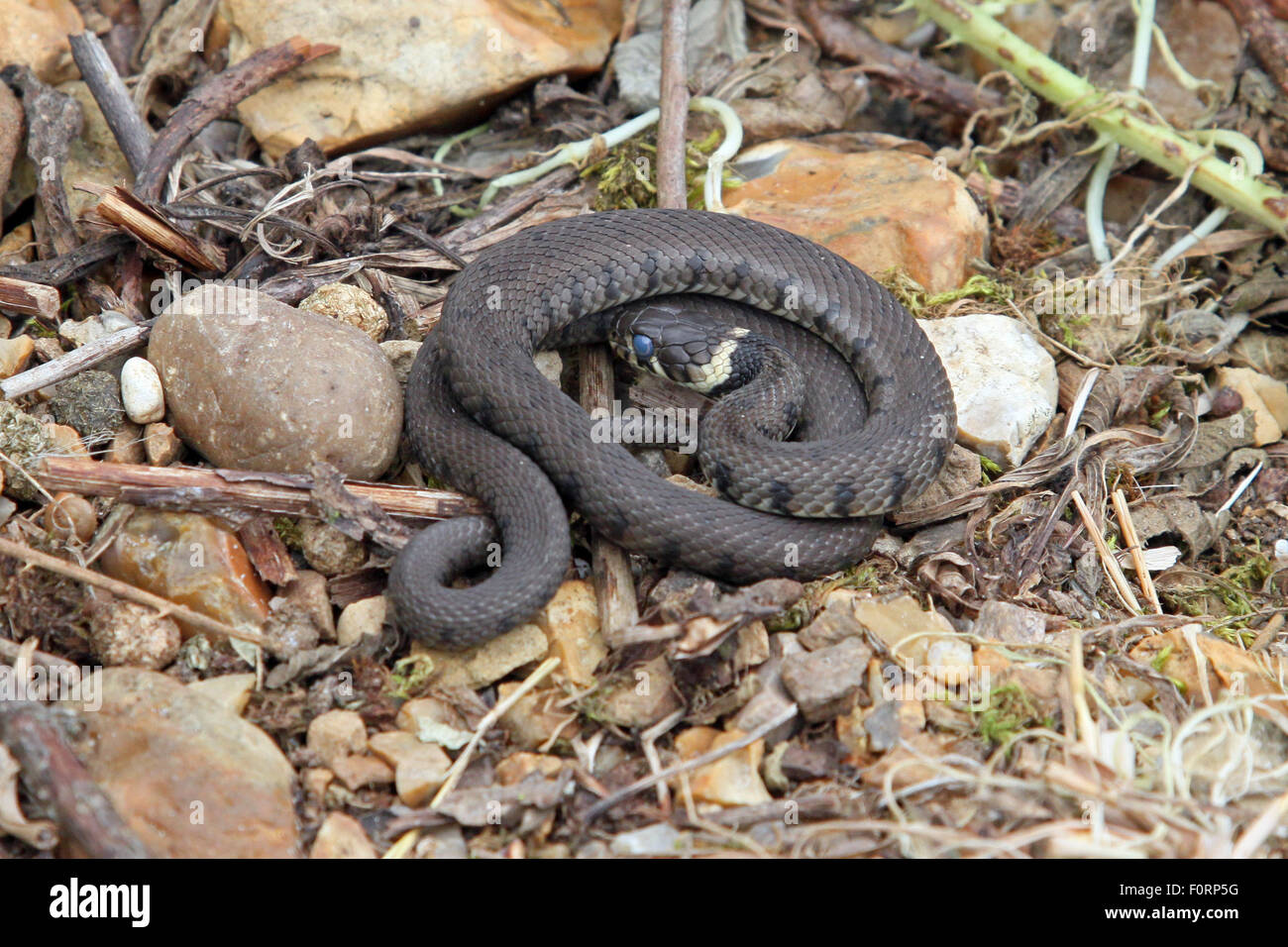 British grass snake basking in a sunny, sheltered position. - Stock Image