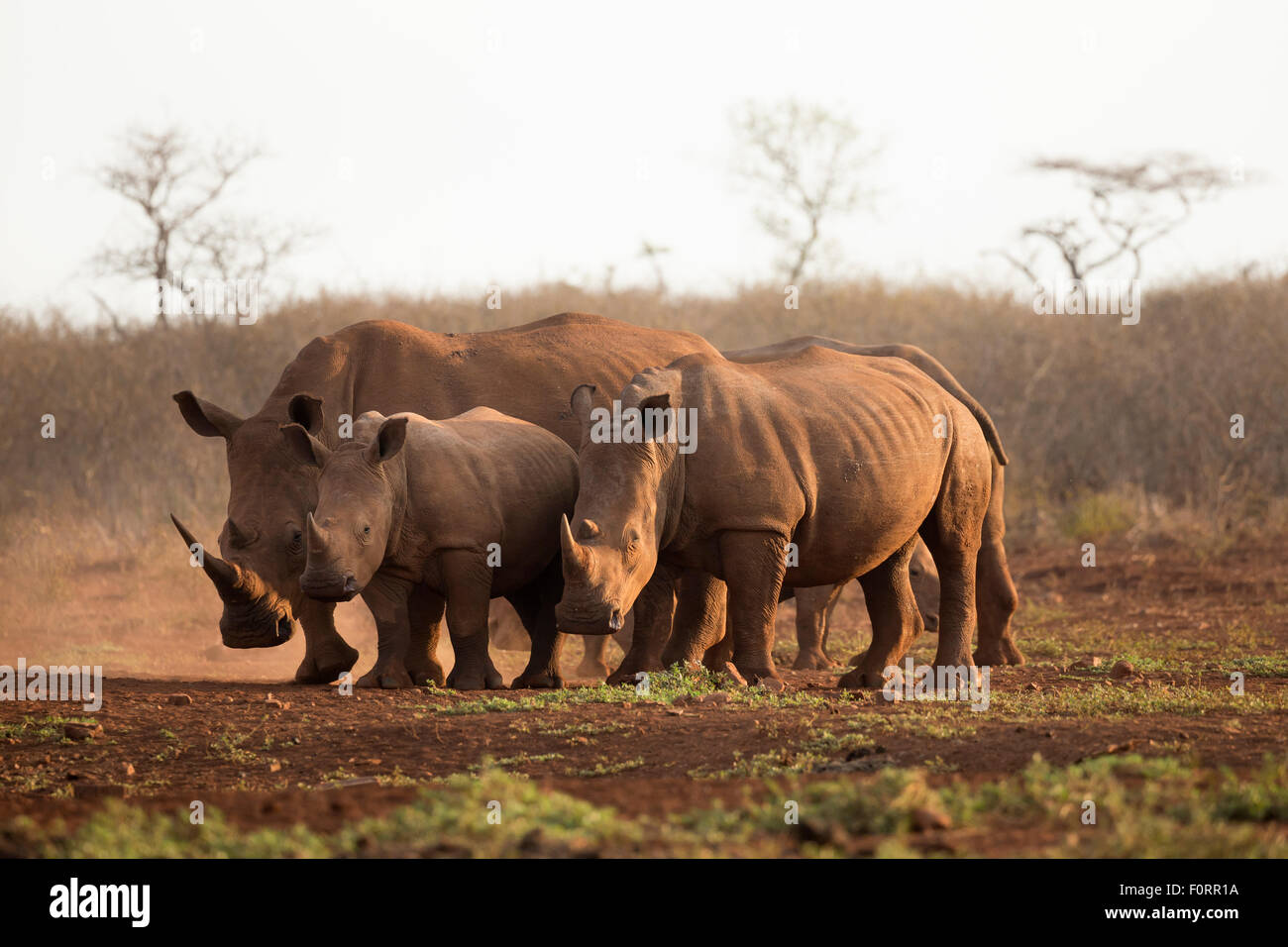 White rhinos (Ceratotherium simum), Zimanga private game reserve, KwaZulu Natal, South Africa - Stock Image