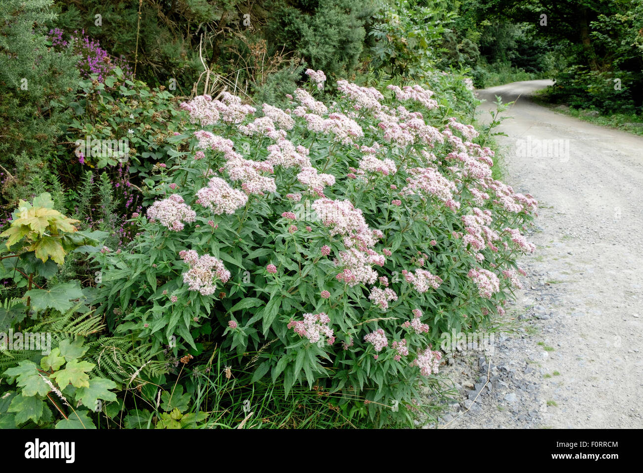Flowering Hemp agrimony (Eupatorium cannabinum) plant growing wild by a forest track. Pentraeth Forest, Anglesey, - Stock Image