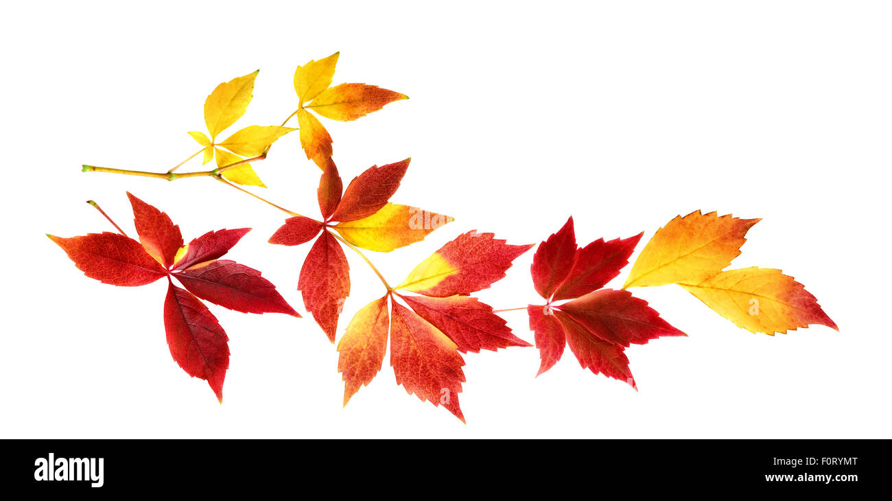 Red and yellow autumn leaves on a twig, studio isolated on white background - Stock Image