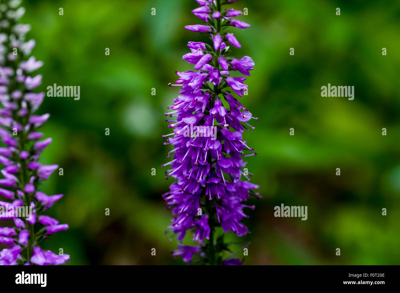 Obedient Plant/False Dragonhead (Physostegia virginiana) - Stock Image