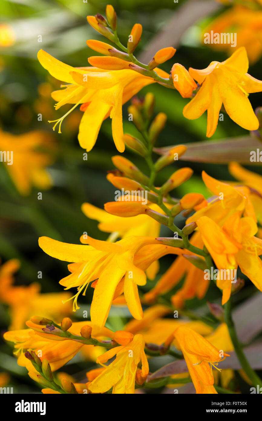 Yellow-orange flower and buds of the late summer flowering corm, Crocosmia 'Gerbe d'Or' Stock Photo