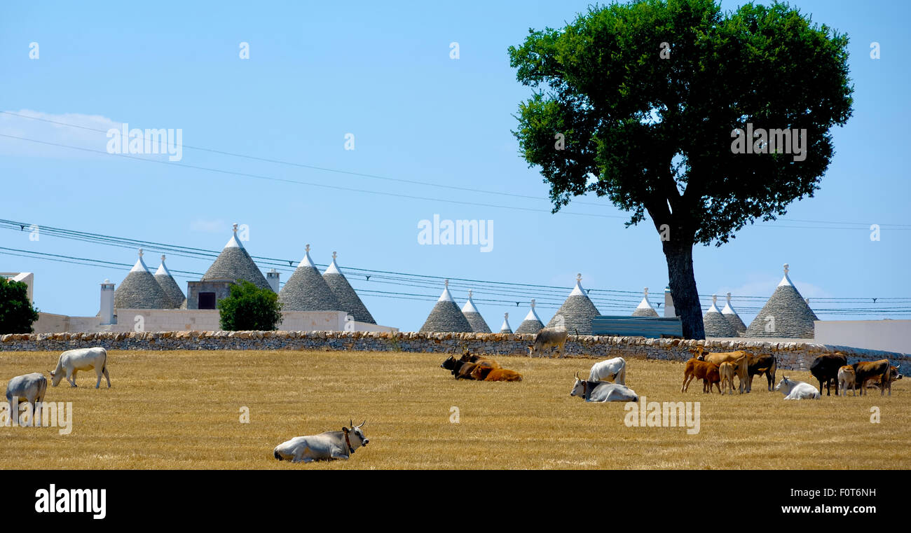 Cows are ruminating in the countryside of Puglia on a hot summer day. In the background trulli - Stock Image