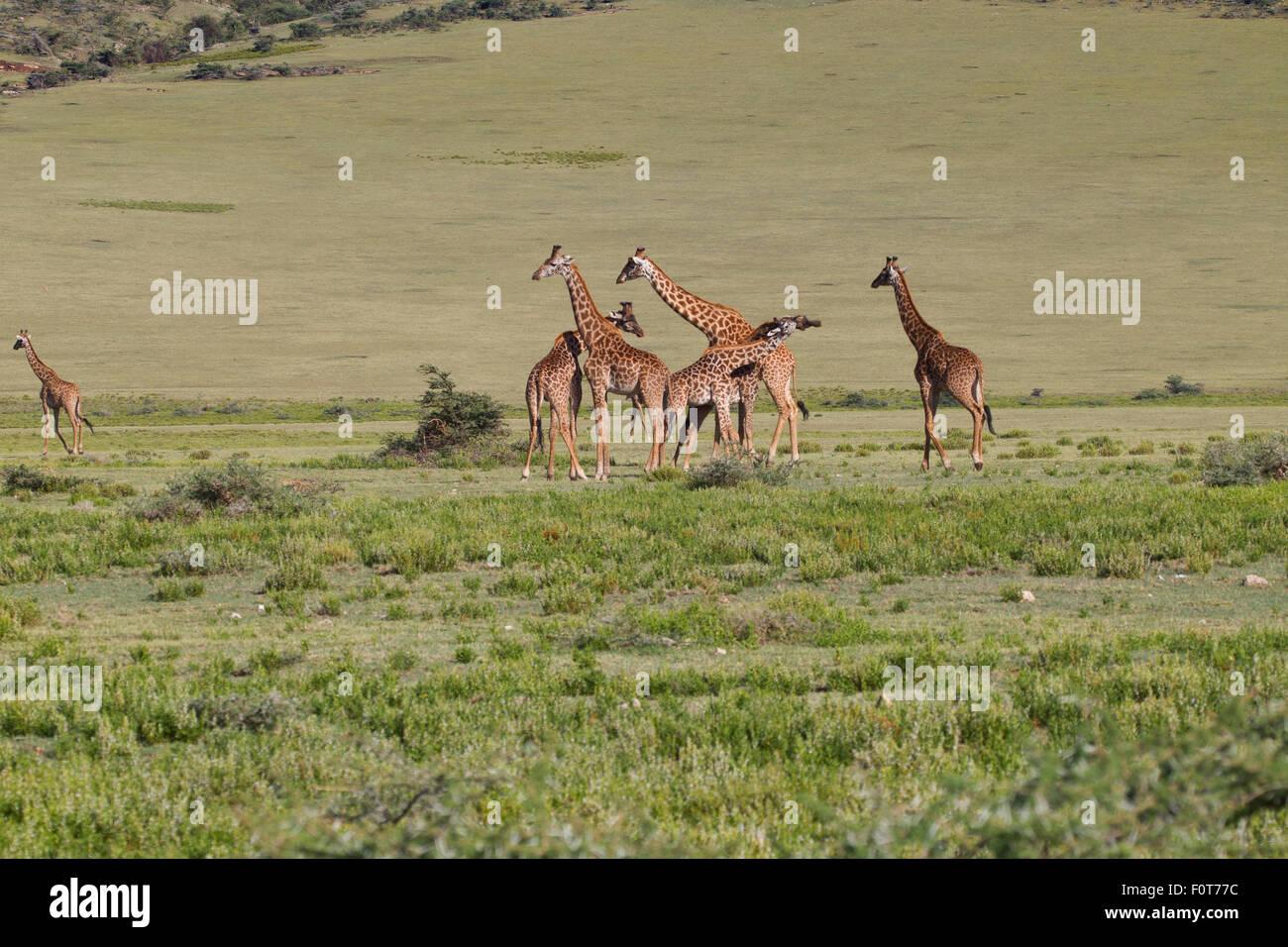 Plains or Masai Giraffes, Tanzania - Stock Image