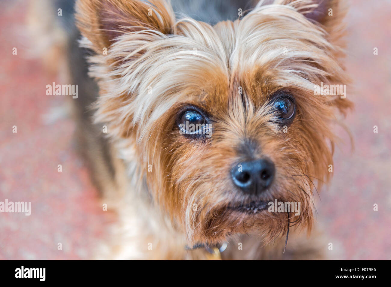 Close up head shot of Yorkshire terrier, a small, cute pet dog, a pampered pooch, with large, appealing eyes gazing - Stock Image