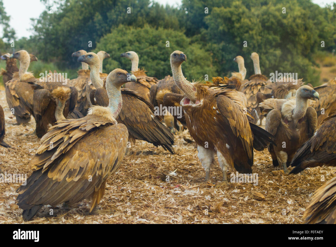 Griffon vulture (Gyps fulvus) large group at feeding site, Campanarios de Azaba Biological Reserve, a rewilding Stock Photo