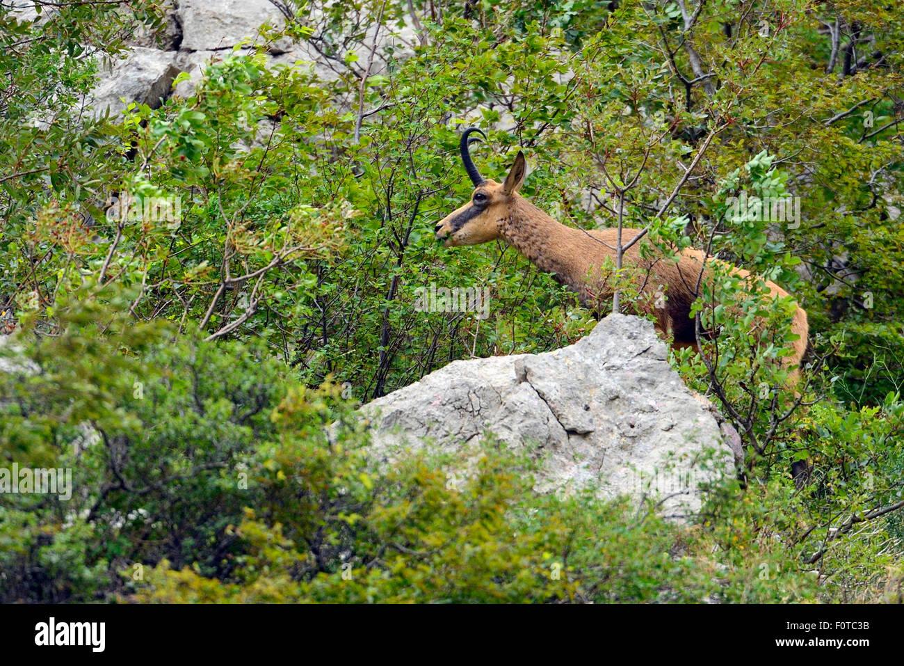 Balkan Chamois (Rupicapra rupicapra balkanica) Gems, Paklenica National Park, Velebit Nature Park, Rewilding Europe Stock Photo