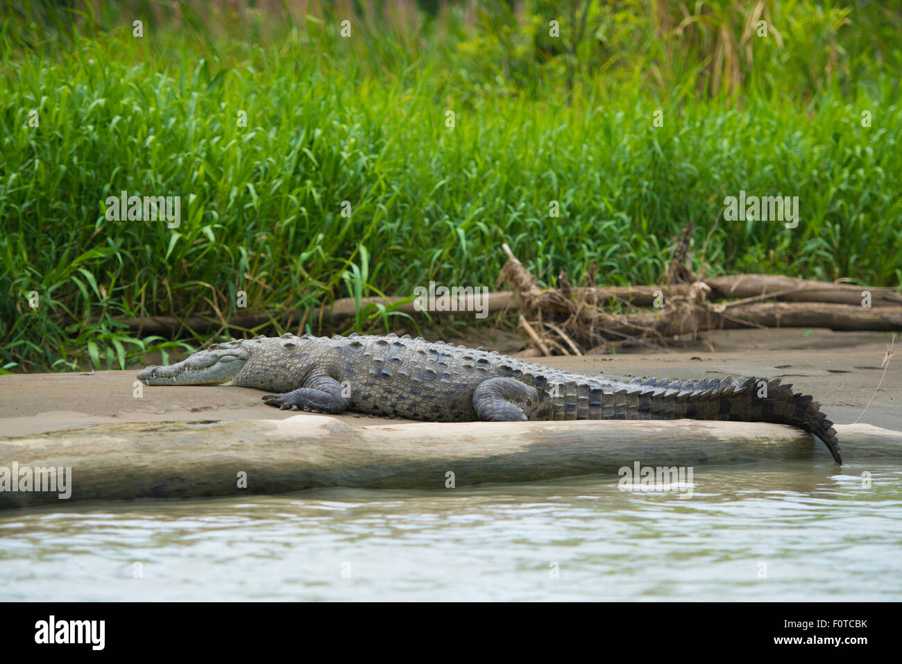 Crocodile or crocodylidae lying down on a bank of a river in Costa Rica. - Stock Image