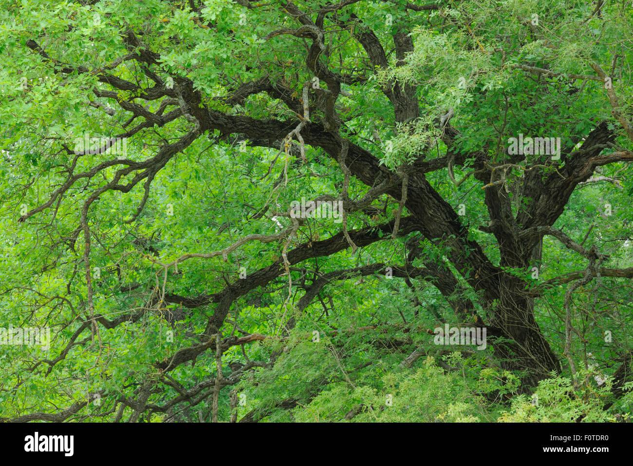 Oak (Quercus robur) Letea forest, Strictly protected nature reserve, Danube delta rewilding area, Romania - Stock Image