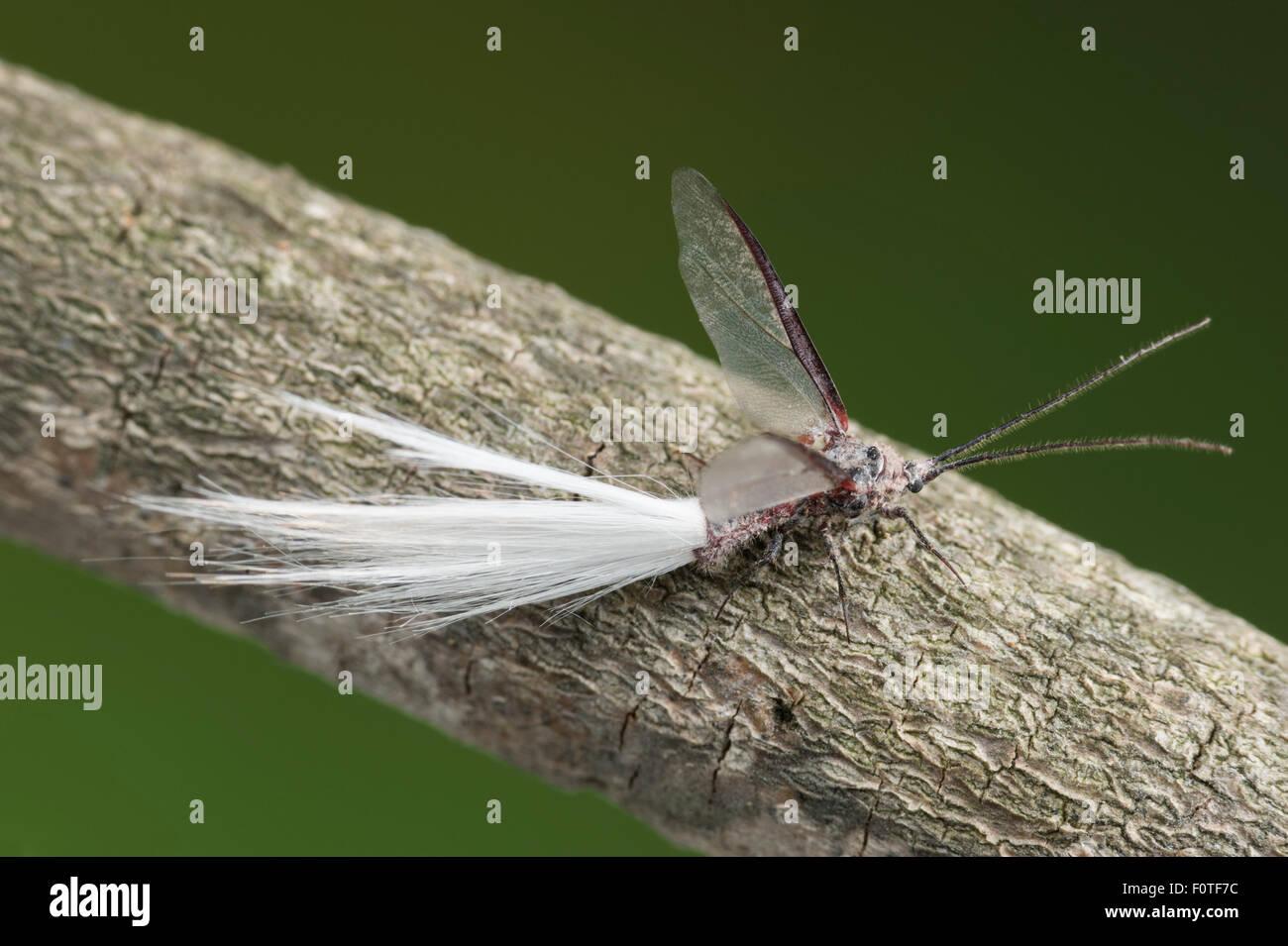 Male Bird-of-paradise fly - Stock Image