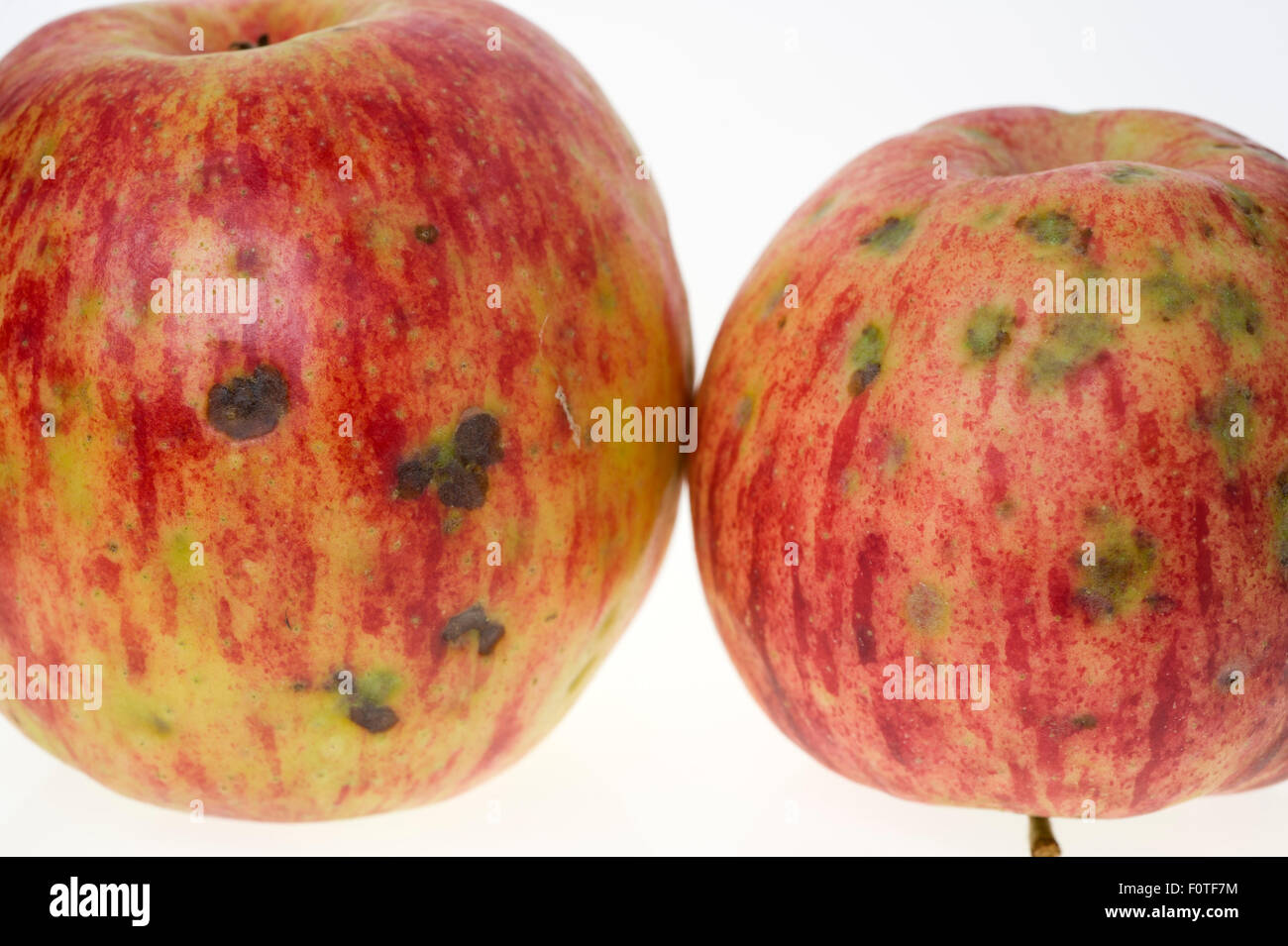 Bitter pit symptoms on apples - Stock Image