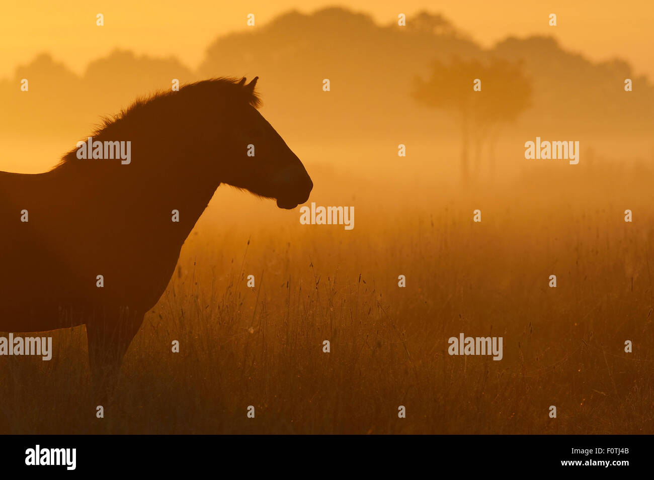 Exmoor pony at sunrise, one of the oldest and most primitive horse breeds in Europe, Keent Nature Reserve, The Netherlands, - Stock Image