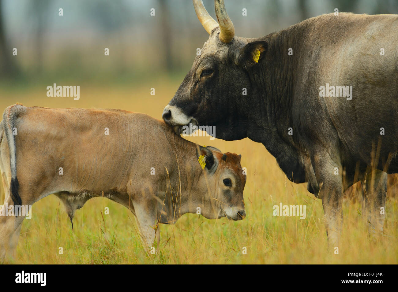 Maremmana primitive cow (Bos taurus) with crossbreed calf, Aurochs breeding site run by The Taurus Foundation, Keent - Stock Image