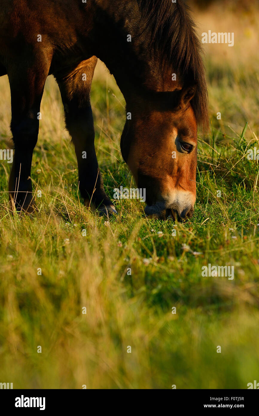 Exmoor ponies, one of the oldest and most primitive horse breeds in Europe, Keent Nature Reserve, The Netherlands. - Stock Image