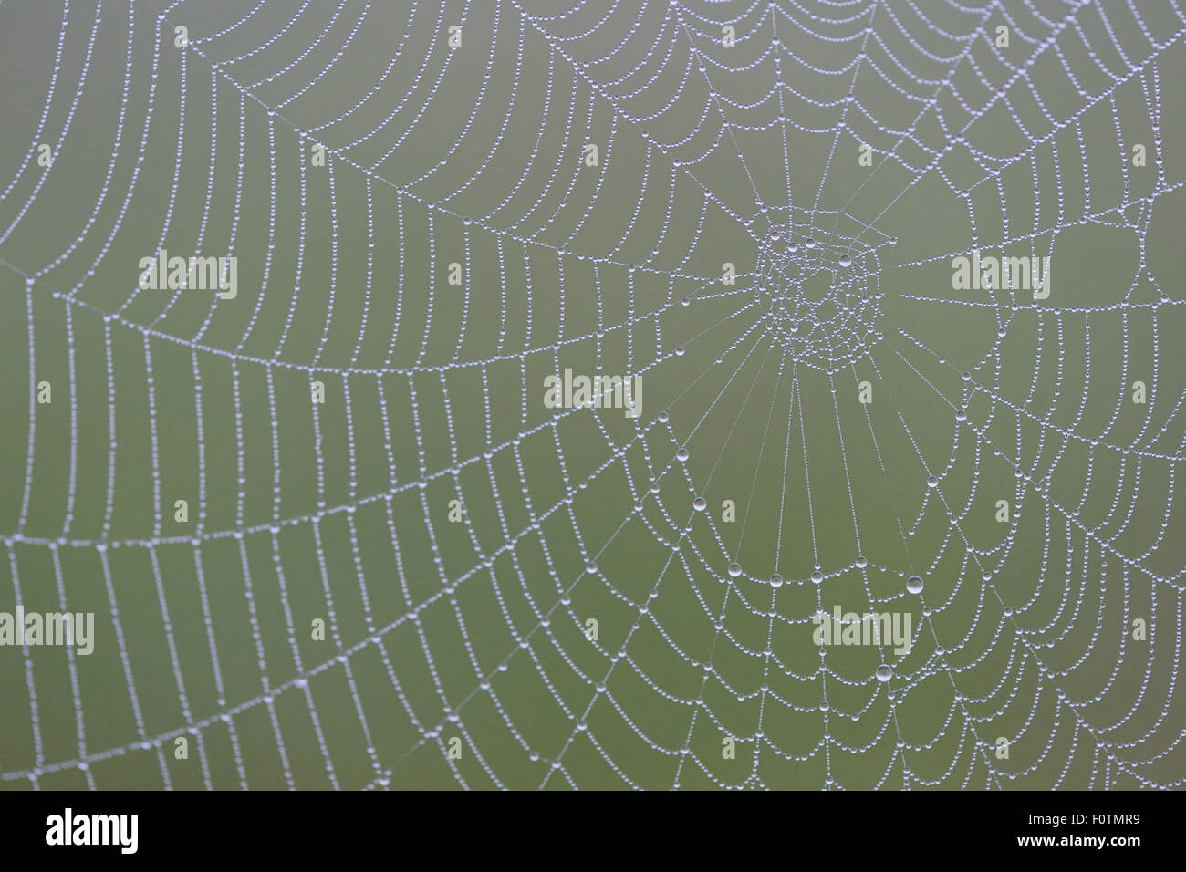 Spiders web (Araneidae sp) covered in dew, Eastern Rhodope Mountains, Bulgaria, May. - Stock Image