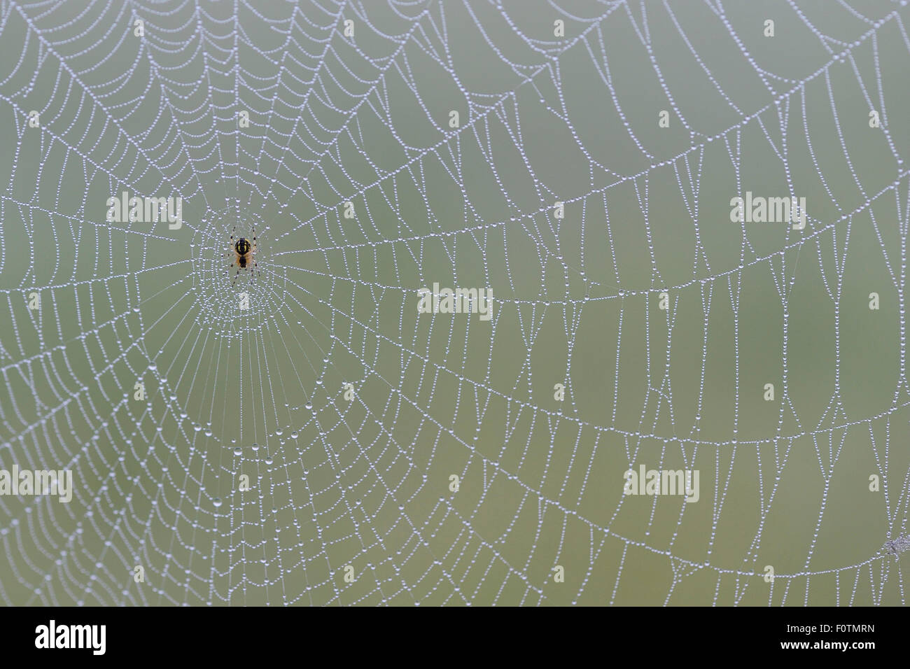 Spiders web (Araneidae sp) covered in dew, with ventral view of spider, Eastern Rhodope Mountains, Bulgaria, May. - Stock Image
