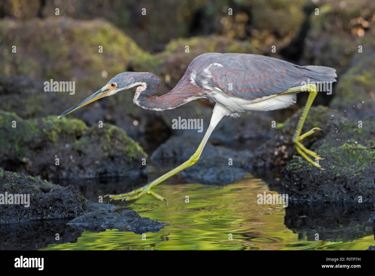 Tricolored Heron running - Stock Image