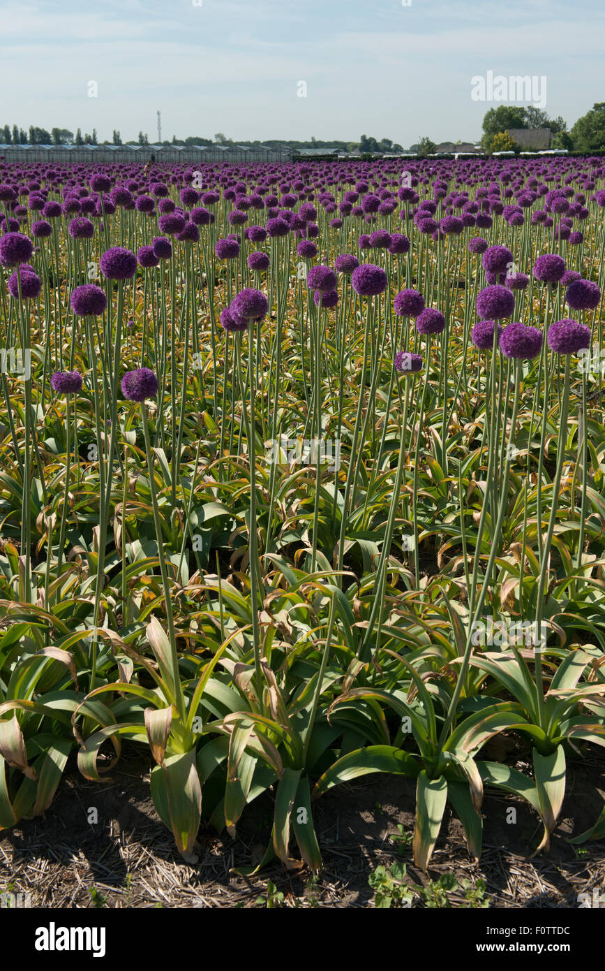 Allium 'Globemaster' crossbreed between Allium christophii A. and macleanii.nursery, Egmond aan den Hoef, - Stock Image