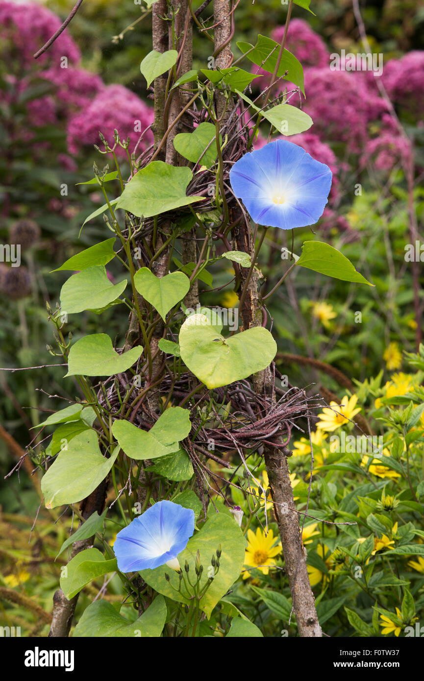 Ipomoea tricolor 'Heavenly blue'. Morning glory 'Heavenly Blue' flowers - Stock Image