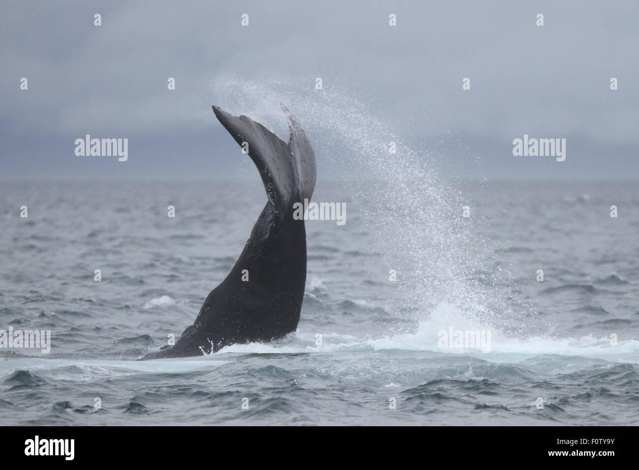 Humpback Whale lobtailing off South East Alaska - Stock Image