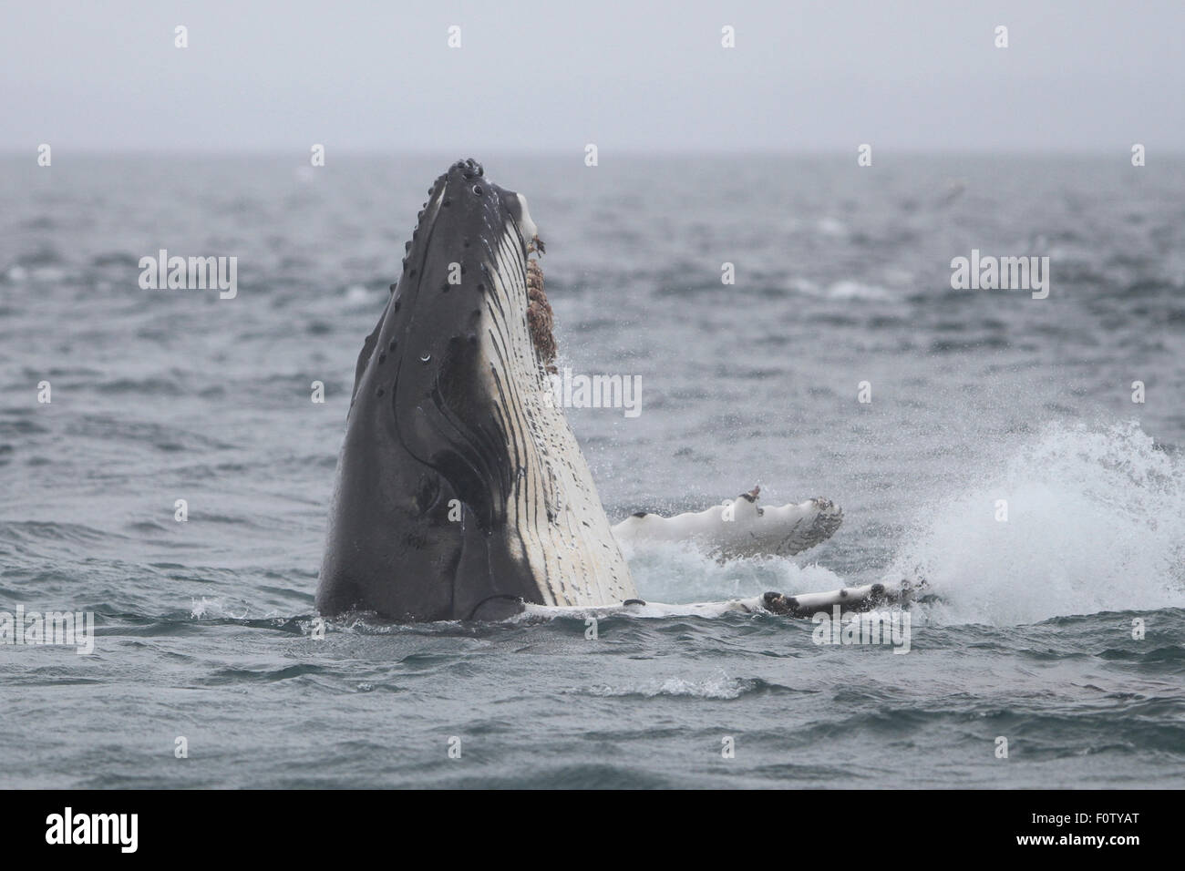 Humpback Whale spyhopping in Icy Strait, SE Alaska - Stock Image