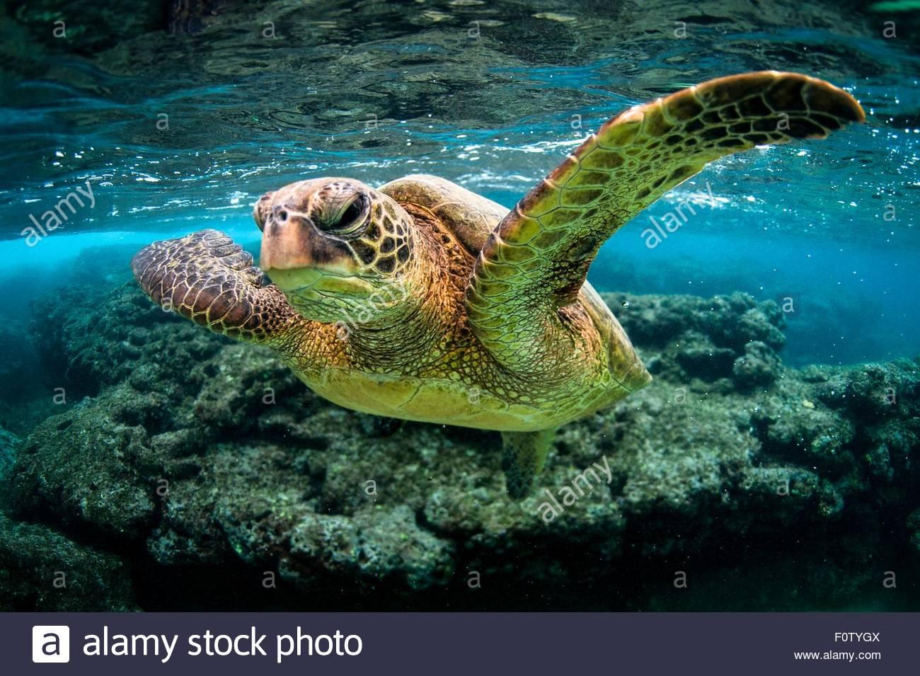 Turtle in sea, Kauai island, Hawaii Islands - Stock Image