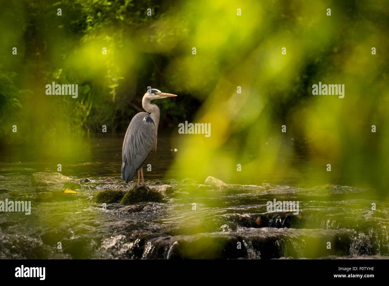 Crane bird, County Kerry, Ireland - Stock Image