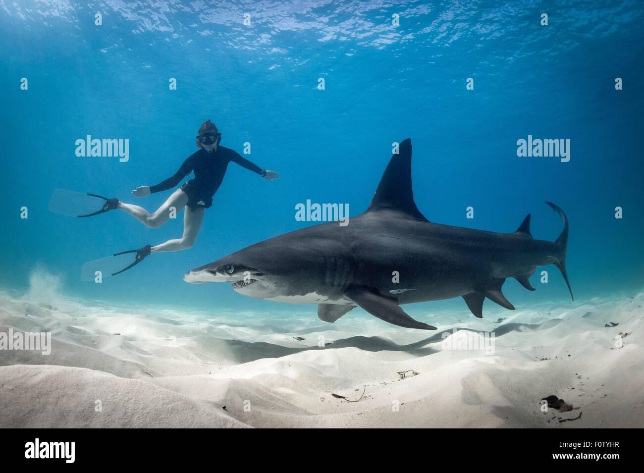 Woman free diving with Hammerhead shark, Bimini, Bahamas - Stock Image