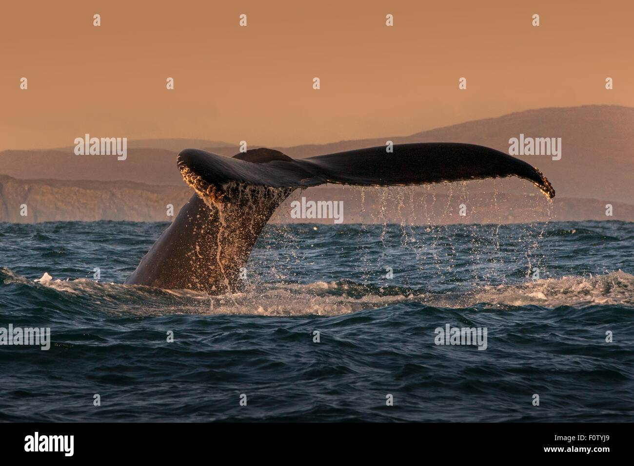 Tail of humpback whale, South West Cork, Ireland - Stock Image