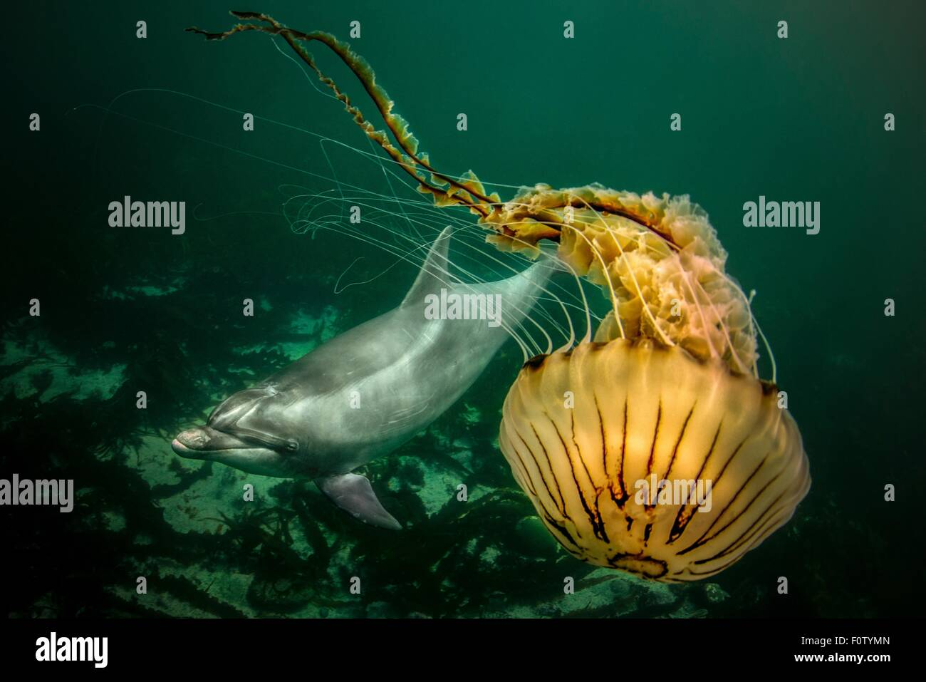 Bottlenose dolphin and compass jellyfish - Stock Image
