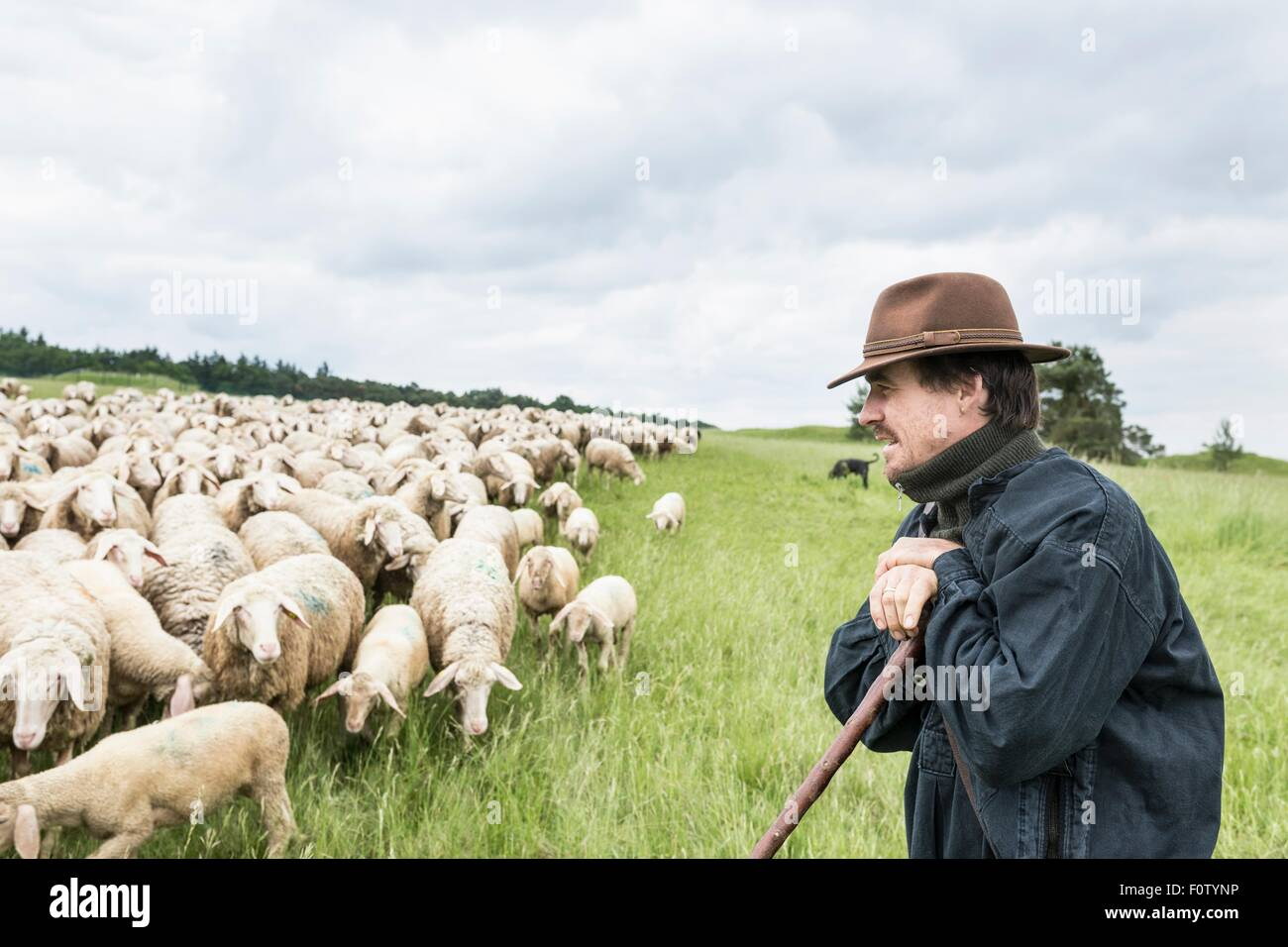 Farmer in field tending to sheep - Stock Image