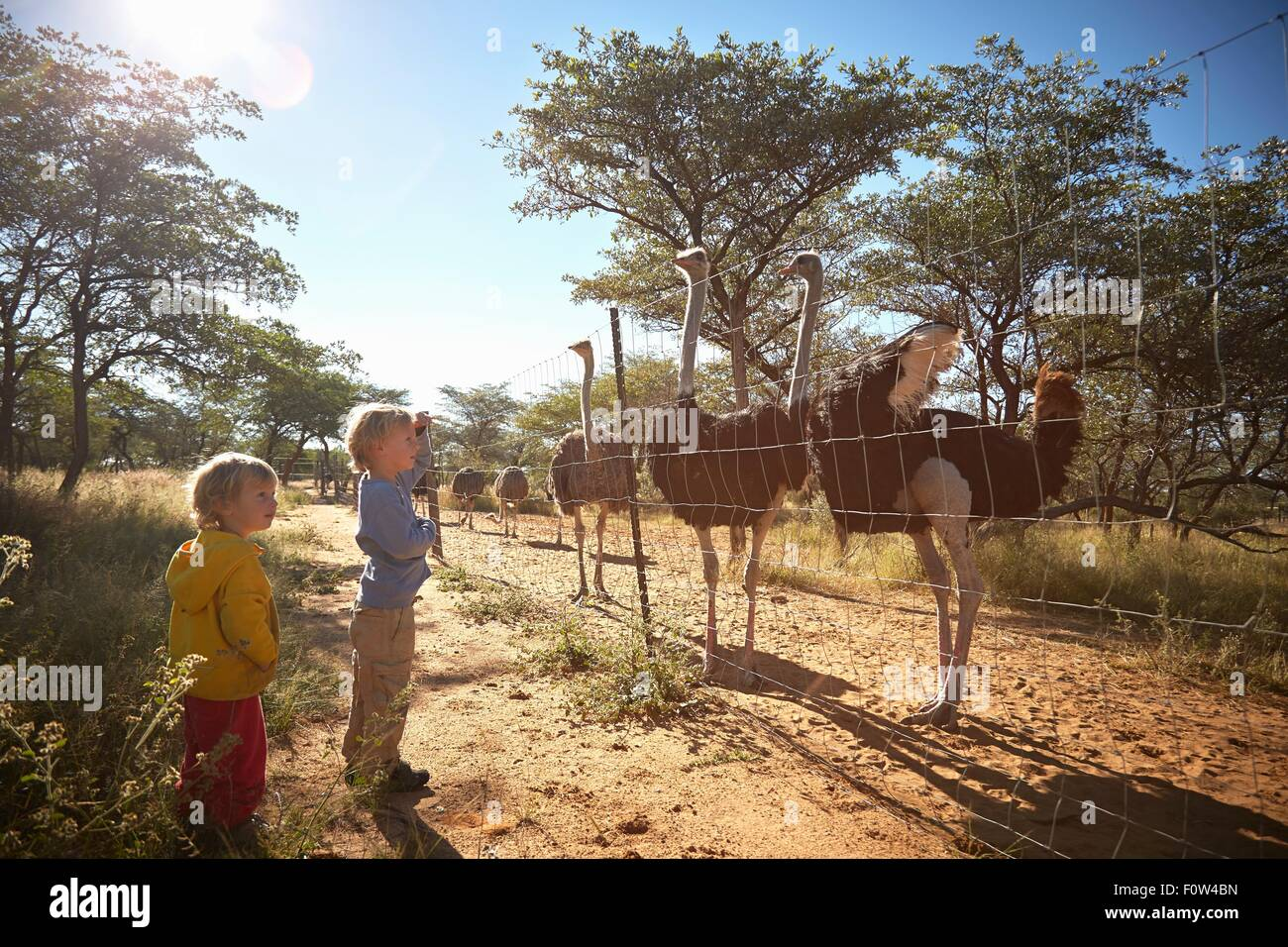 Boys looking at herd of ostriches, Harnas Wildlife Foundation, Namibia Stock Photo