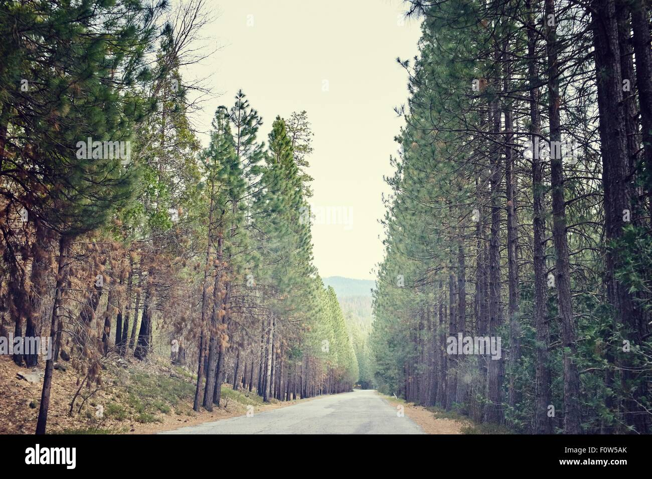 Tree lined road, Yosemite National Park, California, USA - Stock Image