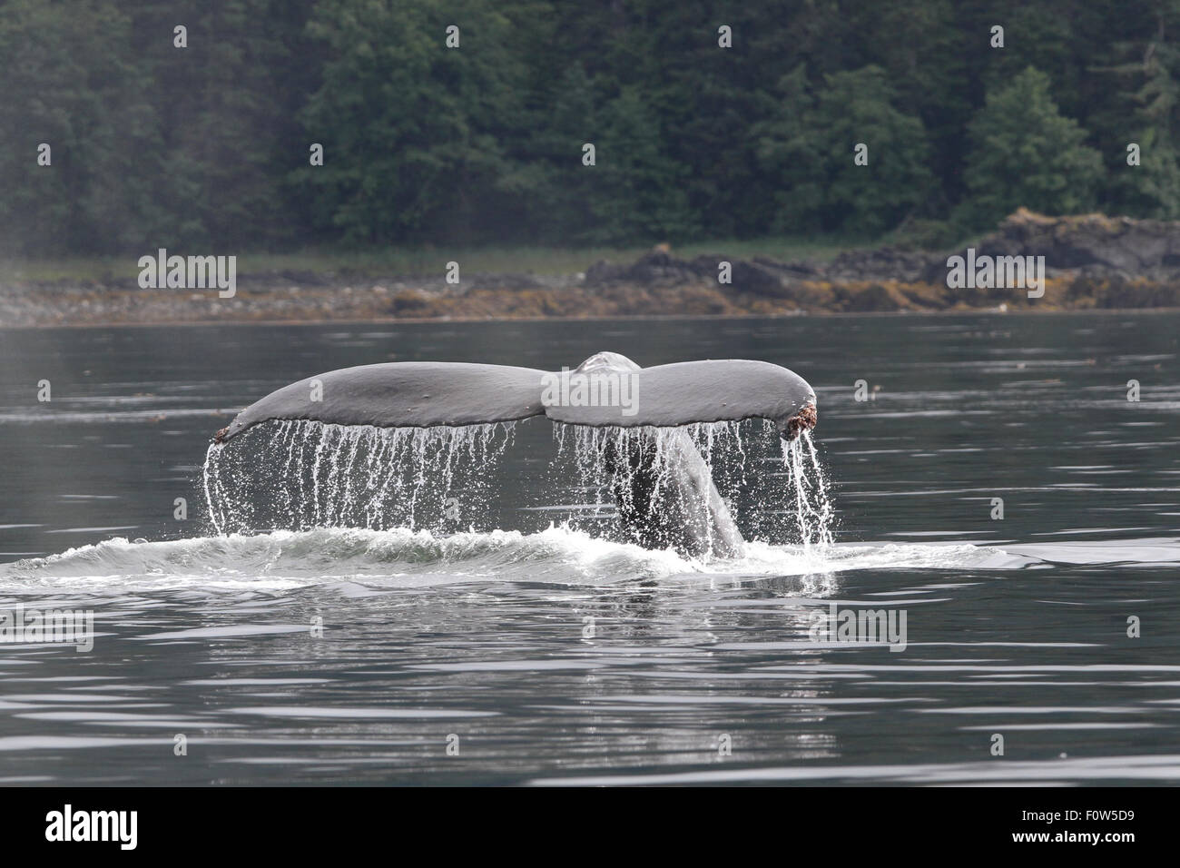 Humpback Whale tail flukes in Frederick Sound, Alaska Stock Photo