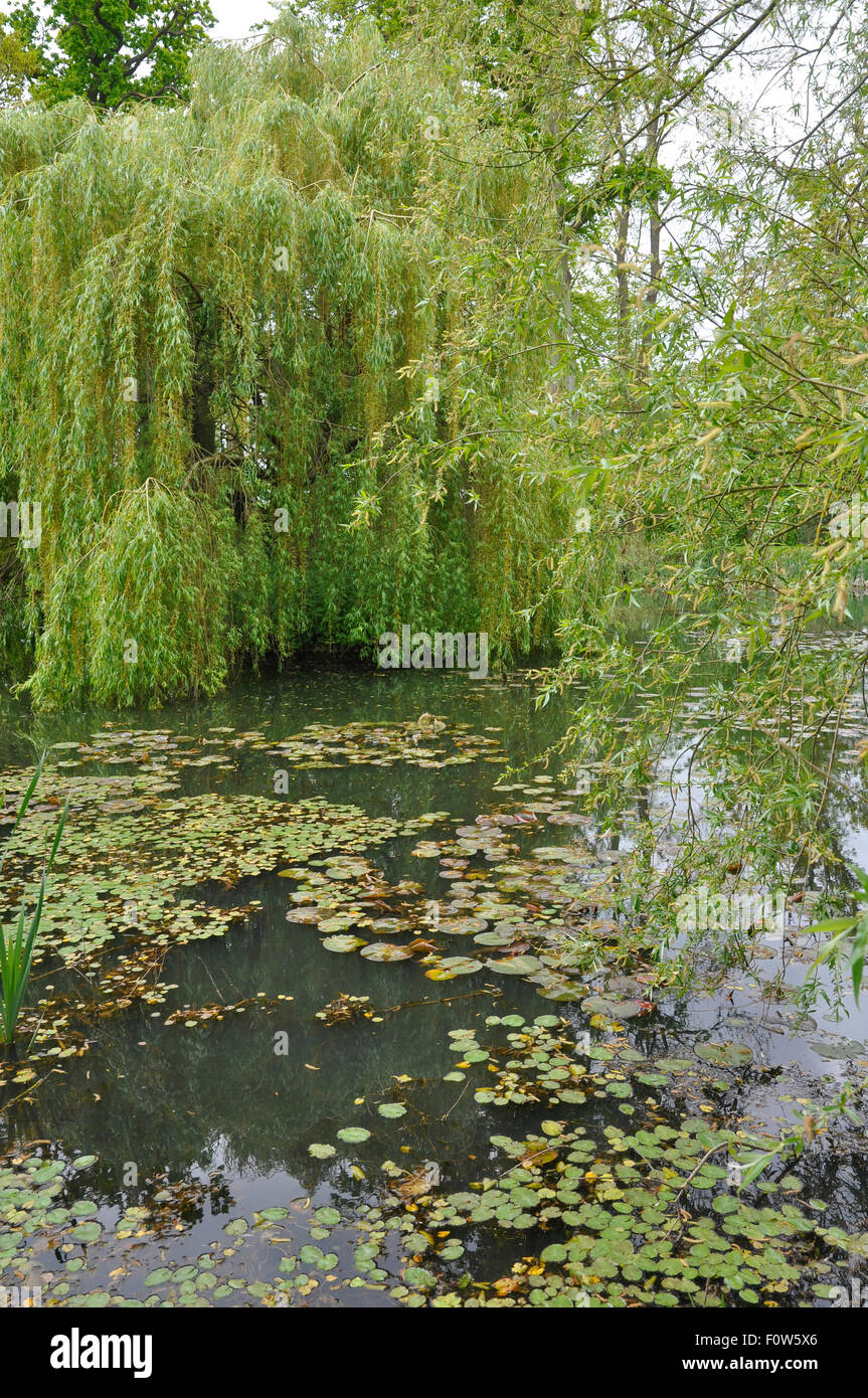 Weeping Willow Tree ( Salix babylonica 'Pendula' )  with Water Lily Leaves on a lake at Highnam.Court Garden. - Stock Image