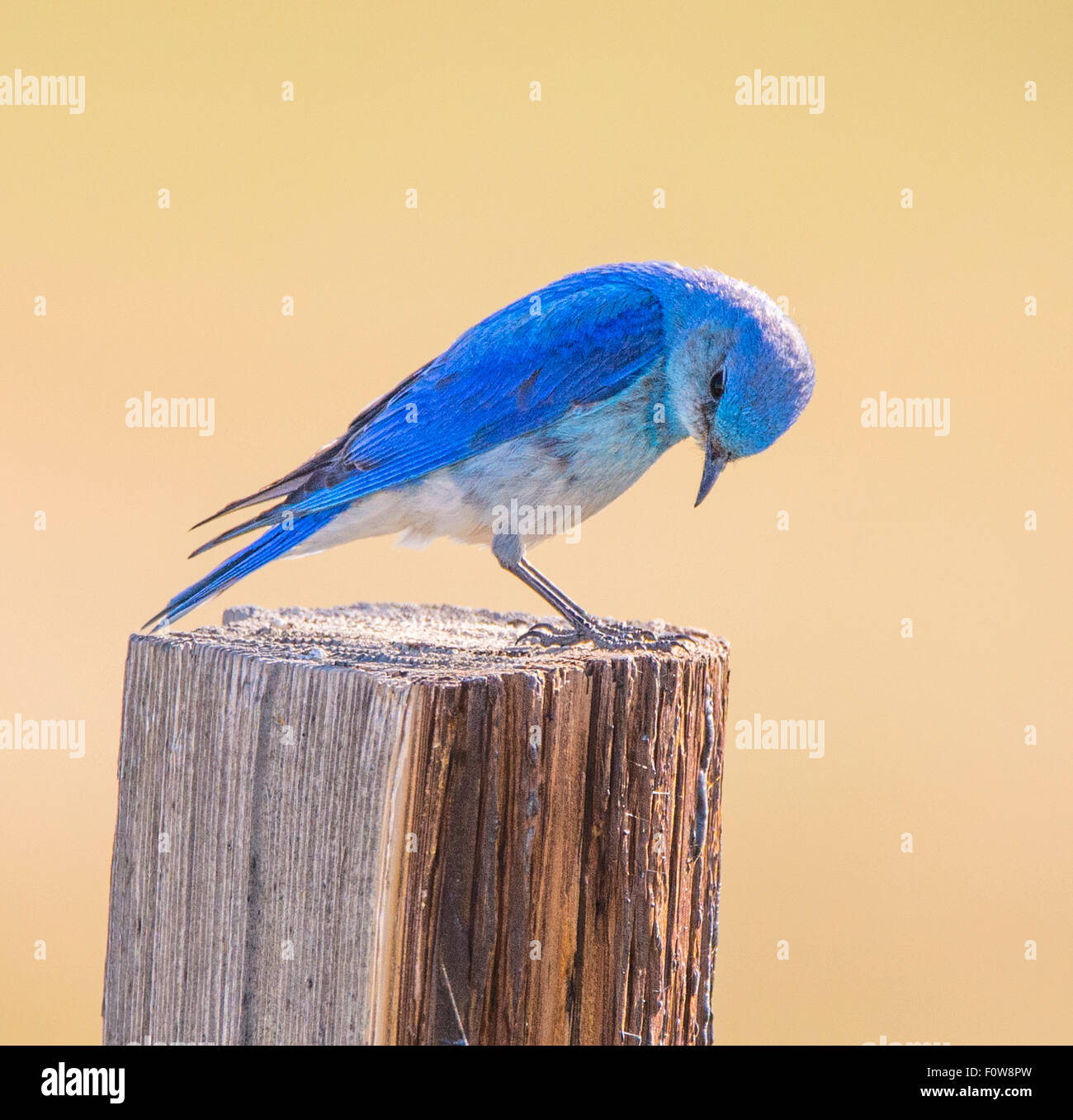 Birds, Male Mountain Blue Bird perched on a fence post, Yellowstone National Park, Wyoming - Stock Image