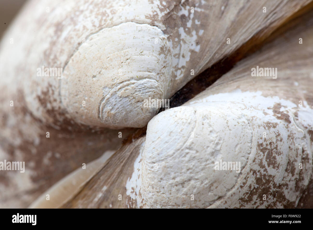 hinge of clam shell - Stock Image