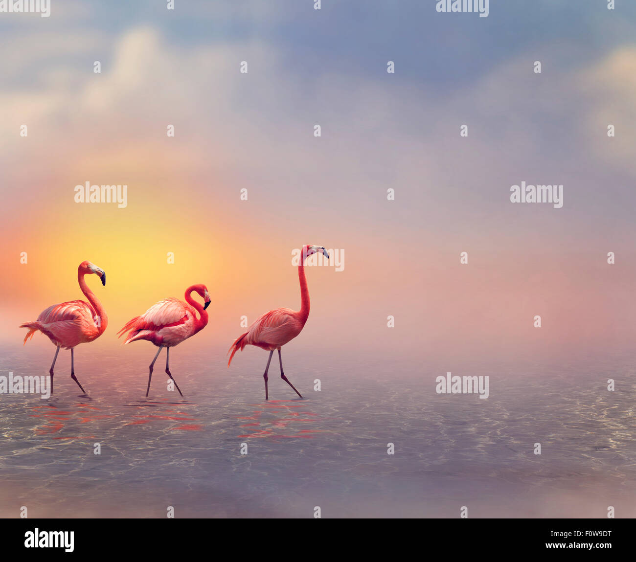 Pink Flamingos Walking at Sunset - Stock Image