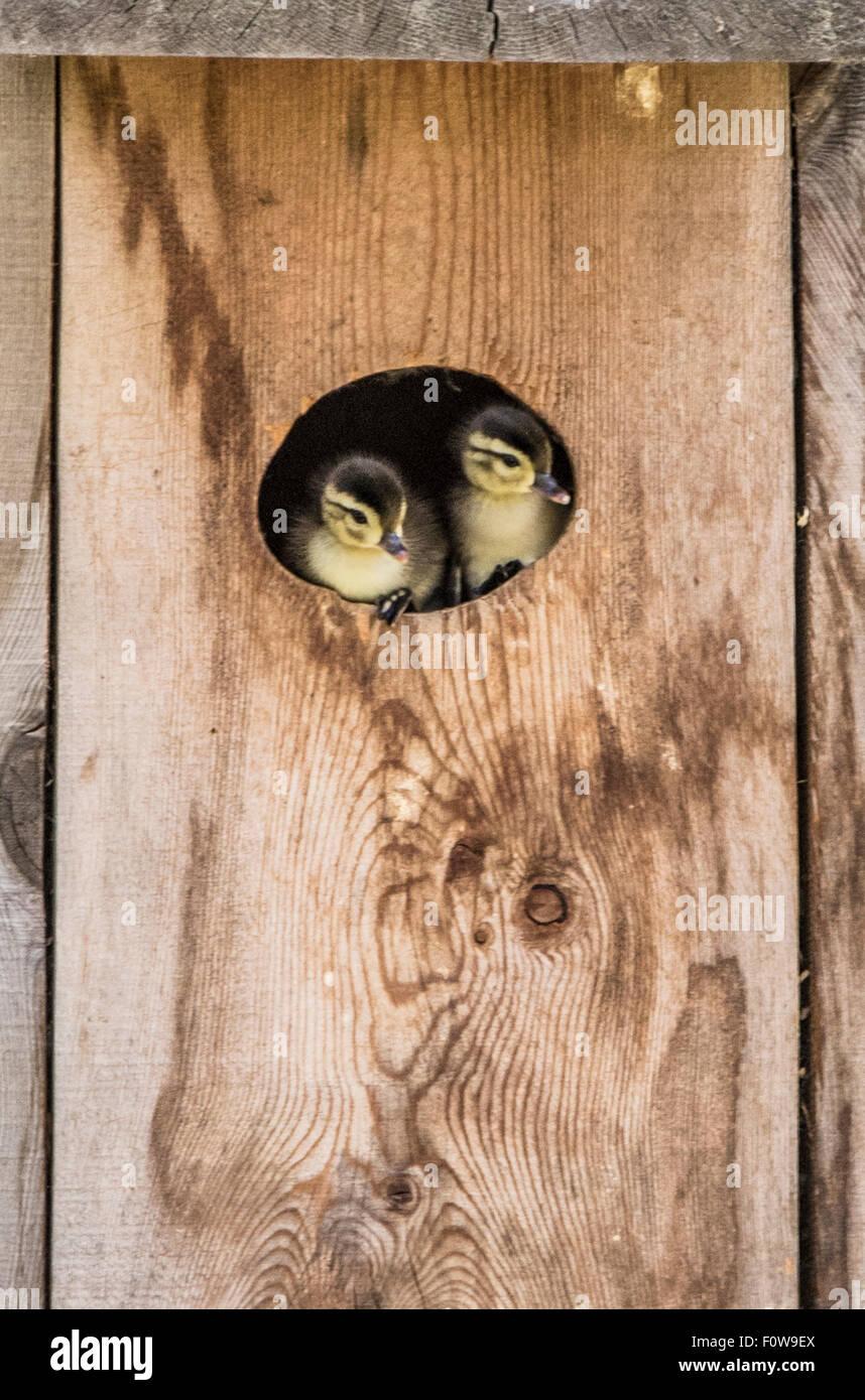 Wildlife, Birds,New born Wood Duck Chicks peaking out of Wood Duck Box/Nest.Boise, Idaho, USA - Stock Image