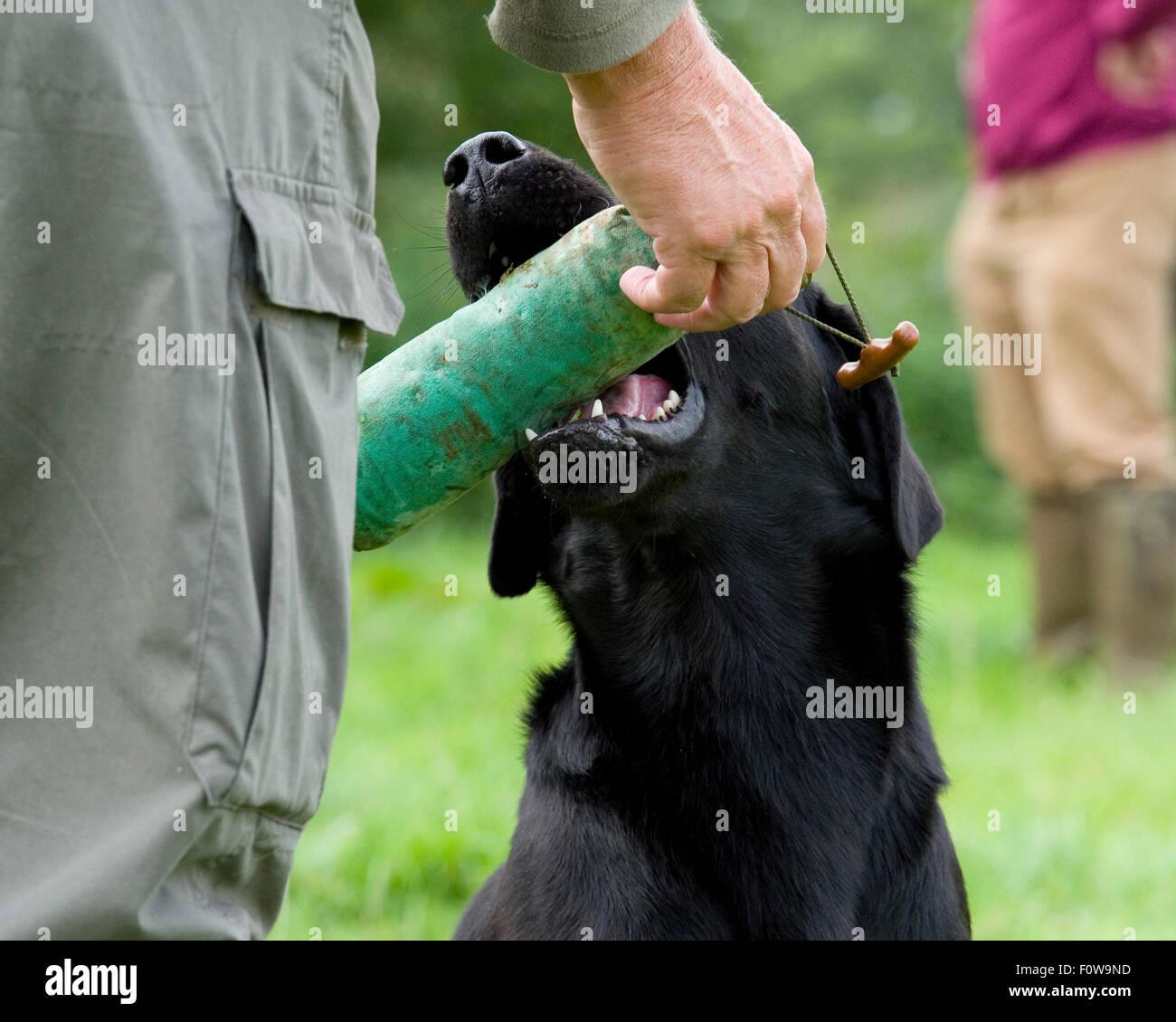 black Labrador retriever presenting dummy - Stock Image