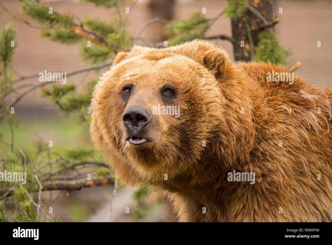 Young Alaska Grizzly Bear in rehabilitation program at Bear World, Grizzly & Wolf Discovery Center, West Yellowstone, - Stock Image