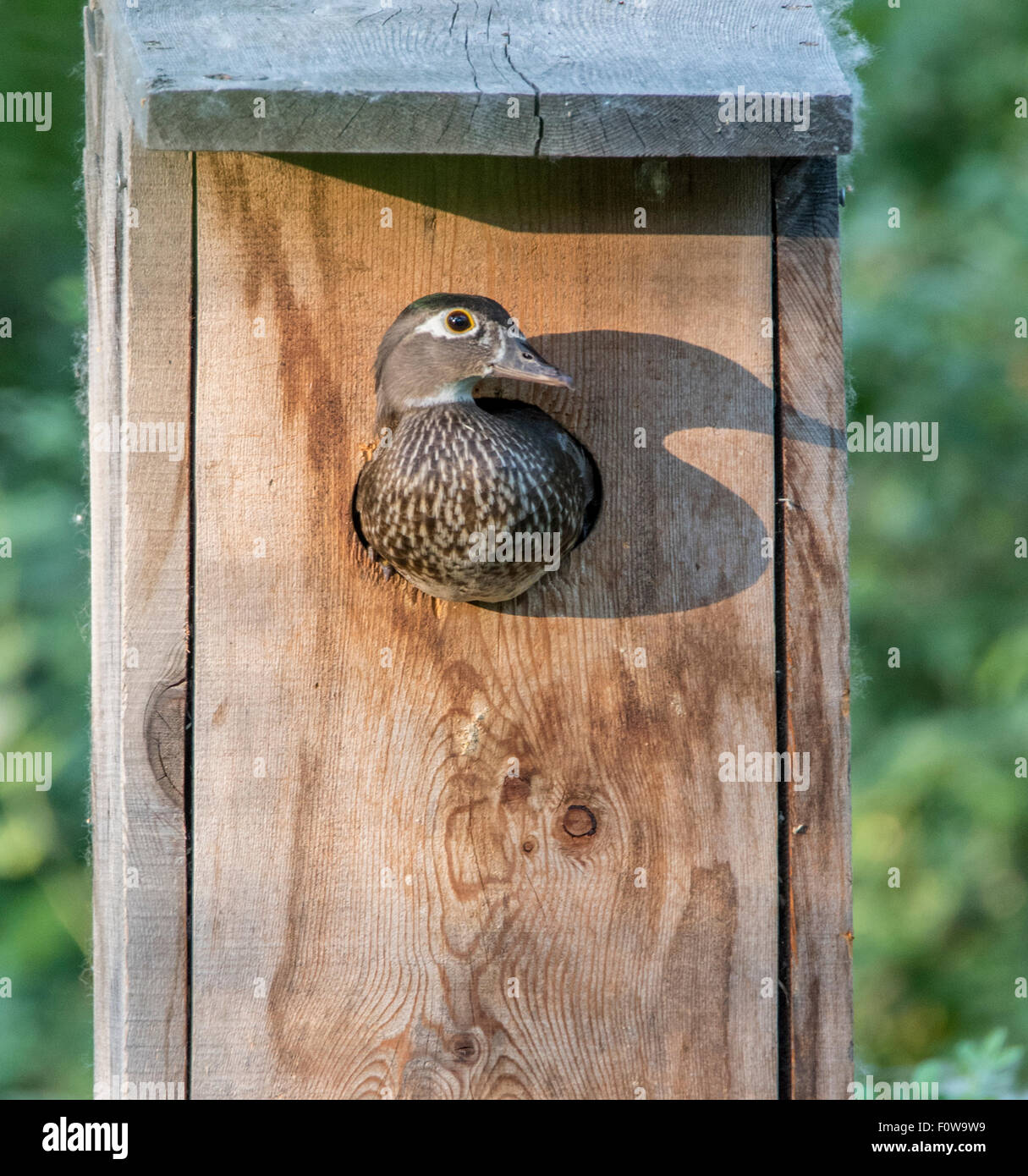 Wood duck nest box stock photos wood duck nest box stock images wildlife birds wood ducks female wood duck peaking out of her wood duck publicscrutiny Choice Image