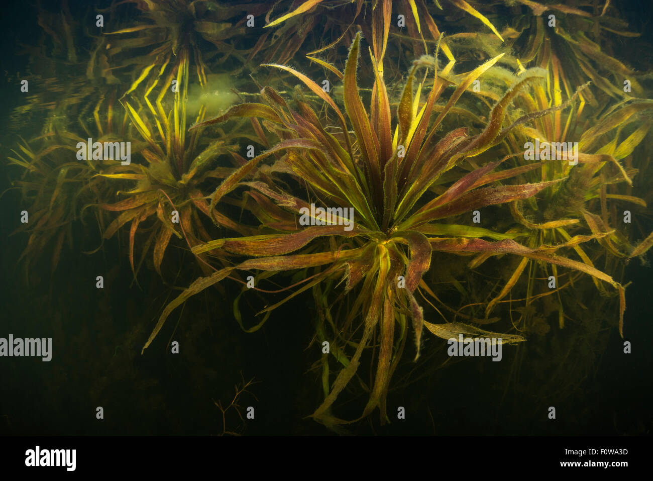 Submerged Water soldier / Water pineapple plant (Statiotes aloides) small lake in Danube Delta, Romania, June. Stock Photo